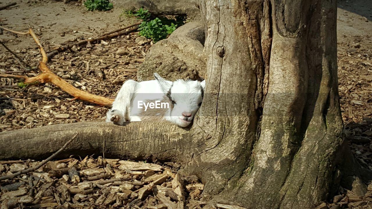 Portrait Of Kid Goat Relaxing By Tree On Field