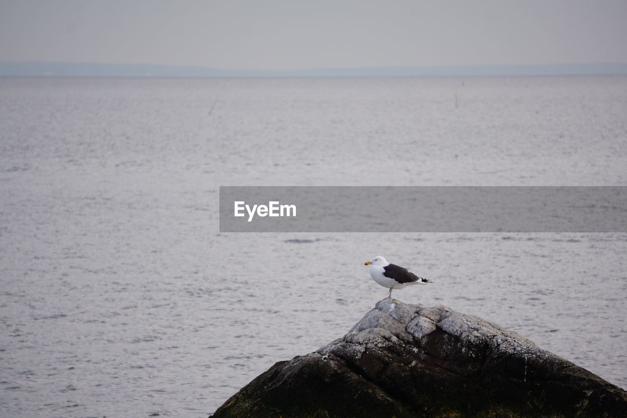 animal themes, animals in the wild, animal wildlife, animal, one animal, bird, vertebrate, water, sea, perching, day, beauty in nature, nature, scenics - nature, no people, sky, rock, outdoors, solid, seagull