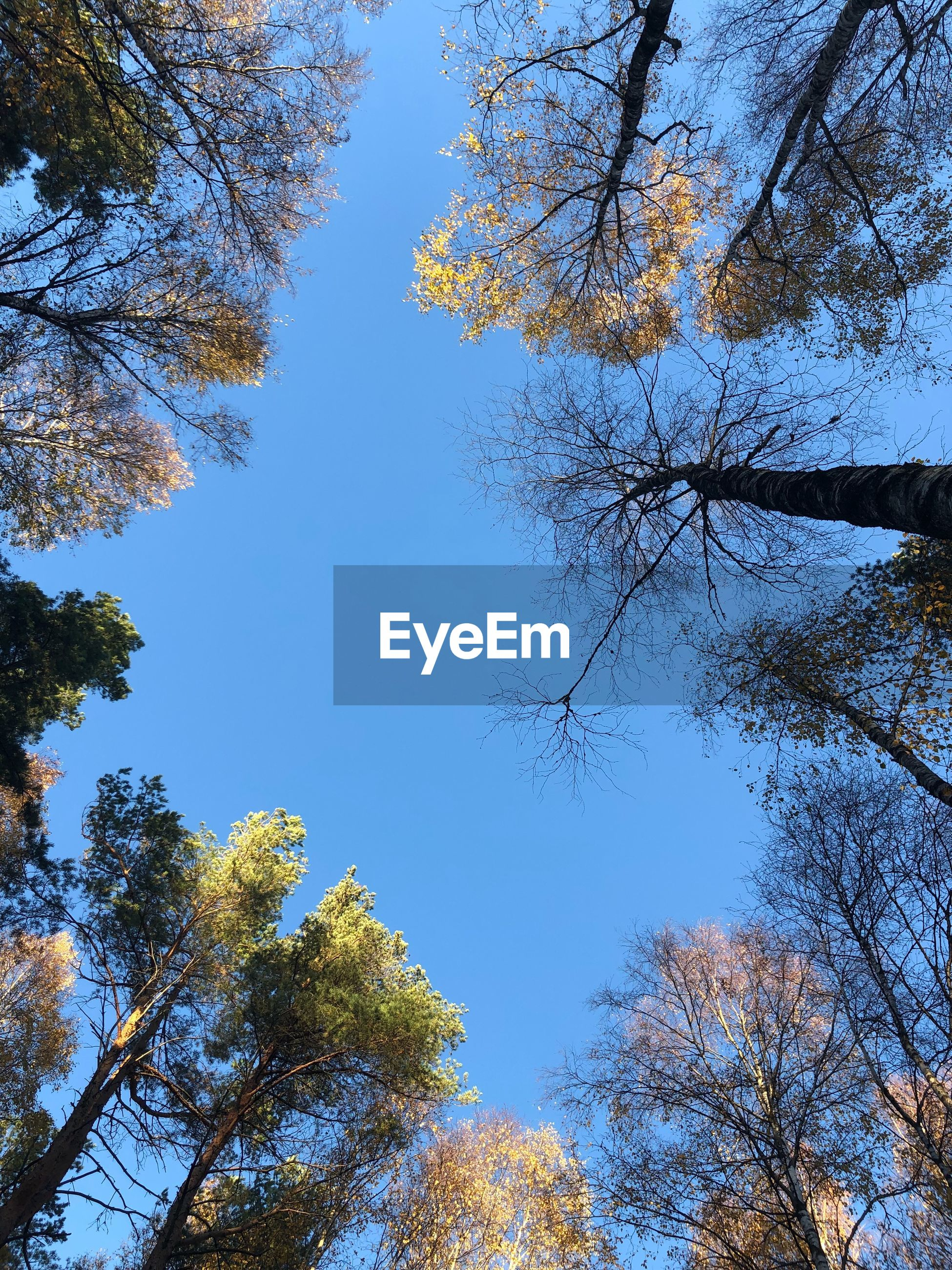 tree, plant, sky, beauty in nature, low angle view, autumn, growth, tranquility, branch, no people, change, nature, day, clear sky, blue, outdoors, tree canopy, scenics - nature, forest, tranquil scene, directly below