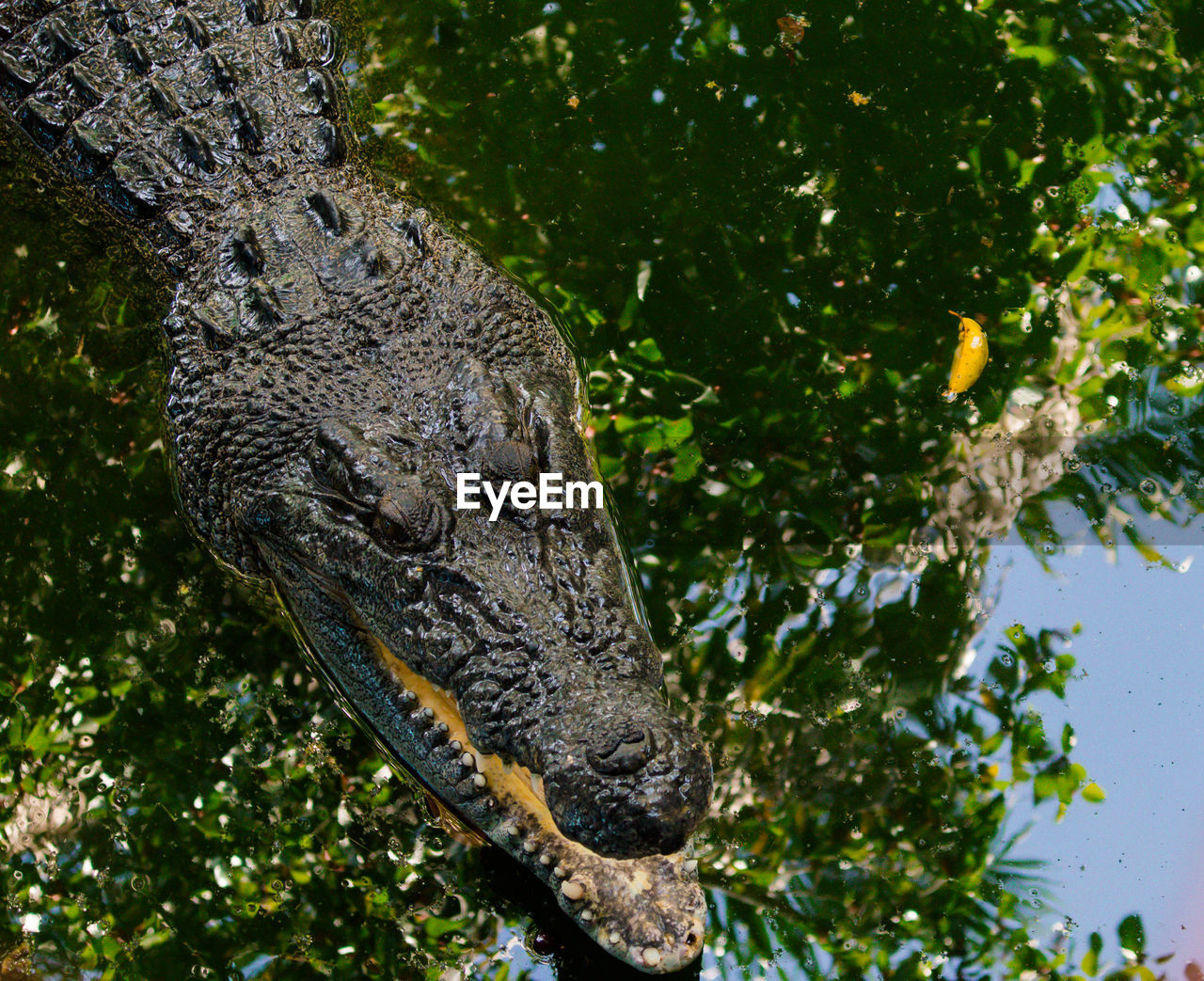 animal themes, one animal, animal wildlife, animal, animals in the wild, reptile, vertebrate, tree, plant, crocodile, no people, warning sign, nature, animal body part, sign, branch, day, underwater, alligator, water, outdoors, animal head, animal scale, swamp, snout