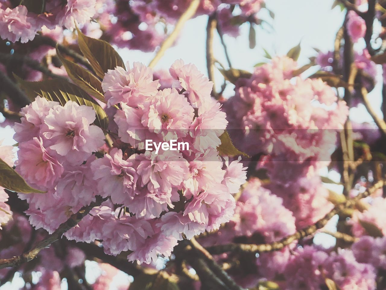 flower, flowering plant, plant, fragility, growth, beauty in nature, vulnerability, pink color, freshness, blossom, close-up, nature, tree, springtime, petal, outdoors, day, inflorescence, no people, spring, flower head, cherry tree, cherry blossom, lilac, bunch of flowers