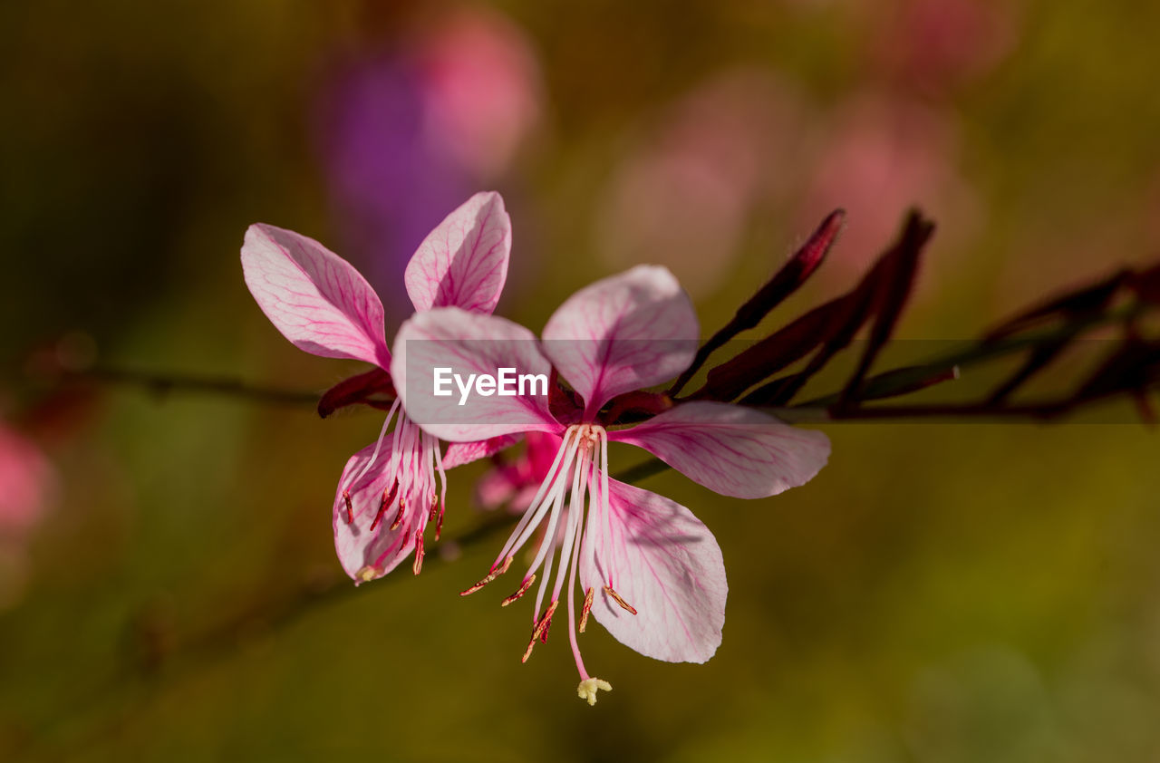 flower, flowering plant, fragility, plant, vulnerability, beauty in nature, petal, freshness, close-up, growth, pink color, flower head, inflorescence, nature, no people, selective focus, day, pollen, focus on foreground, outdoors, springtime