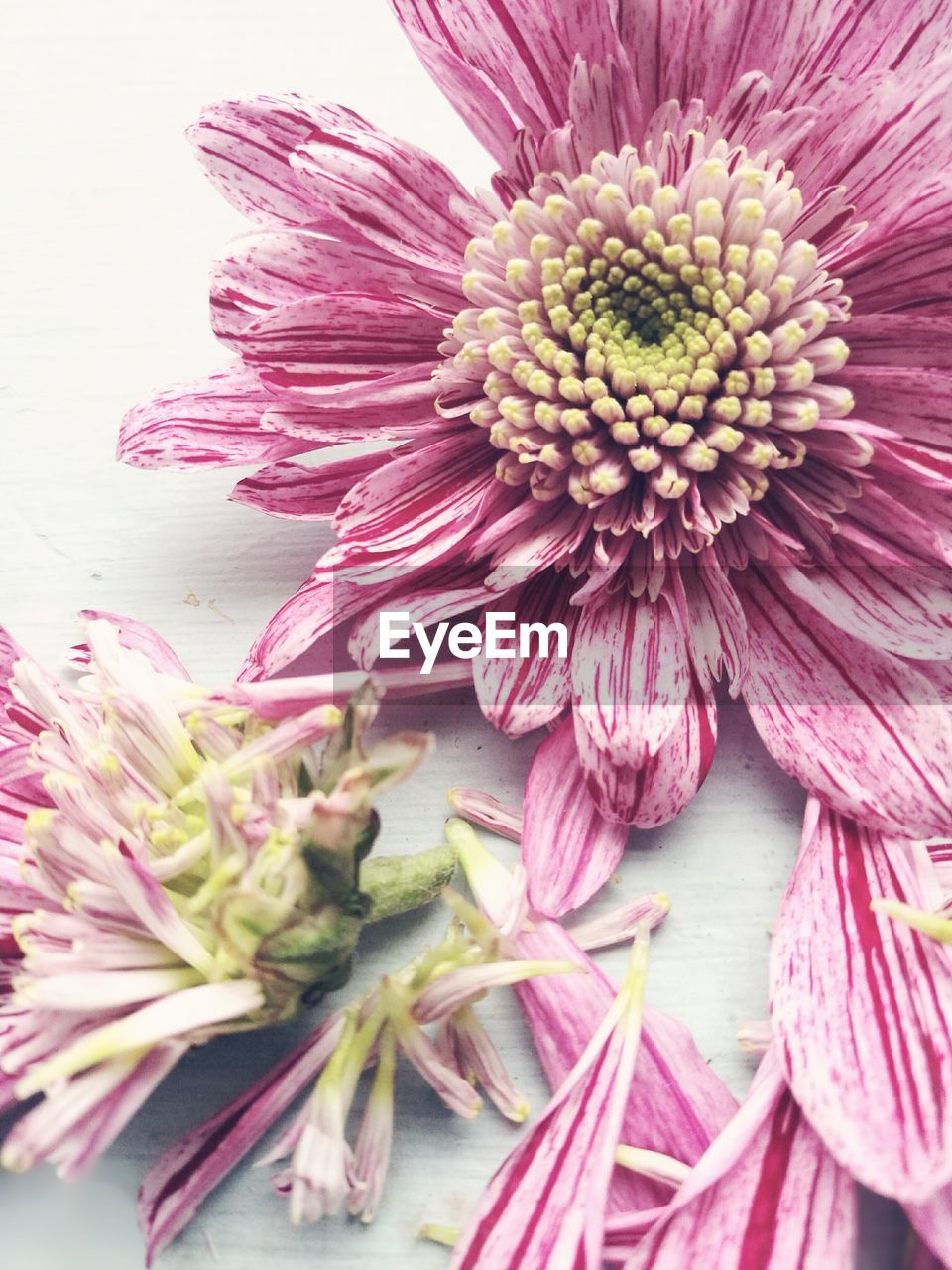 flower, petal, fragility, flower head, freshness, beauty in nature, close-up, nature, no people, pink color, growth, purple, day, plant, outdoors