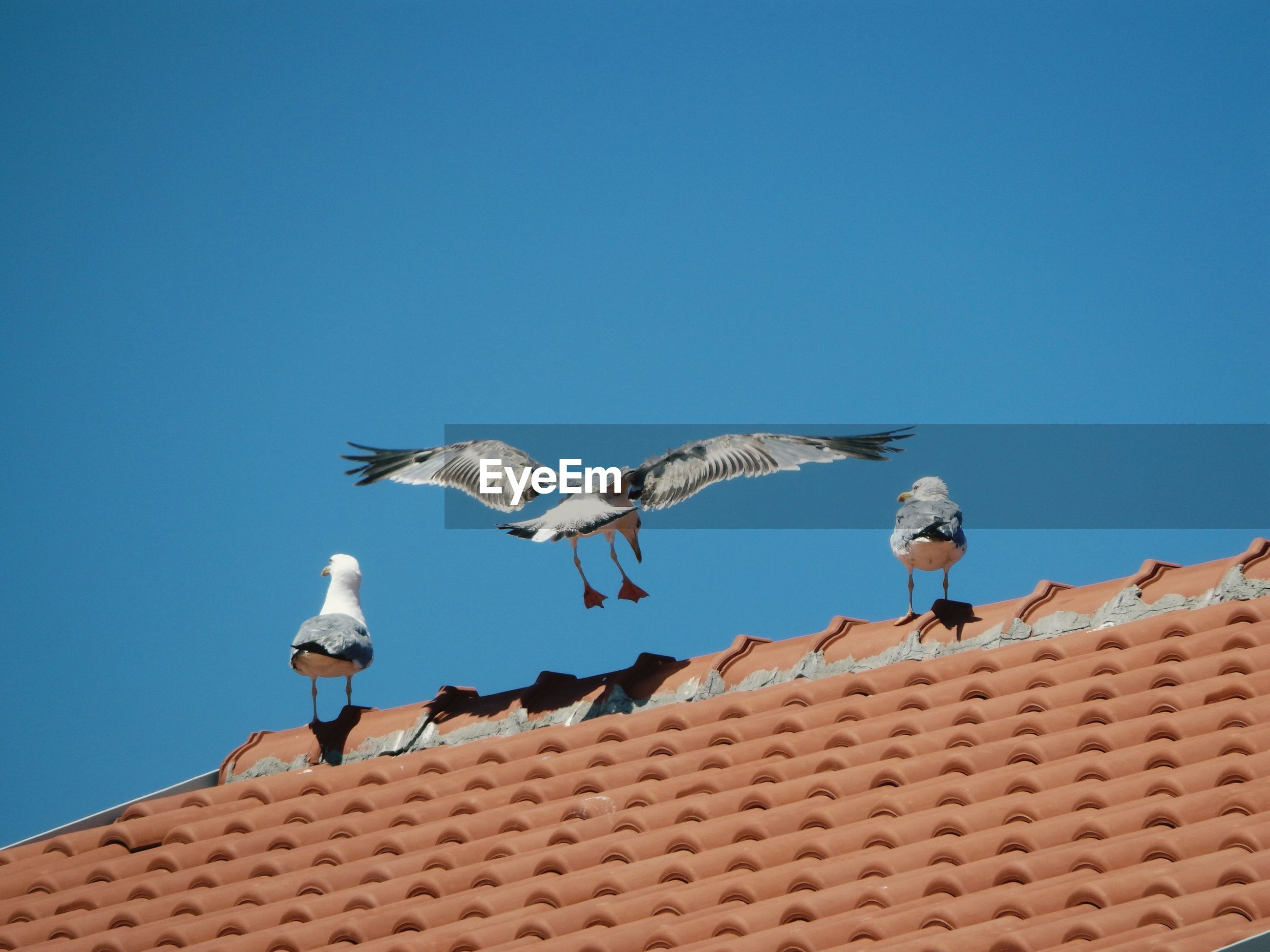 Low angle view of seagulls on roof against clear blue sky