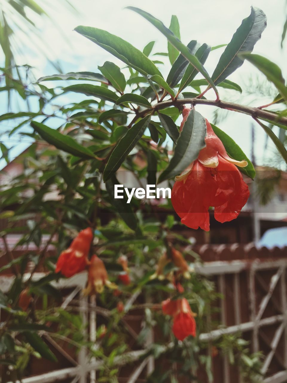 plant, flowering plant, growth, flower, beauty in nature, vulnerability, fragility, petal, freshness, close-up, flower head, inflorescence, nature, no people, orange color, red, day, focus on foreground, outdoors, leaf