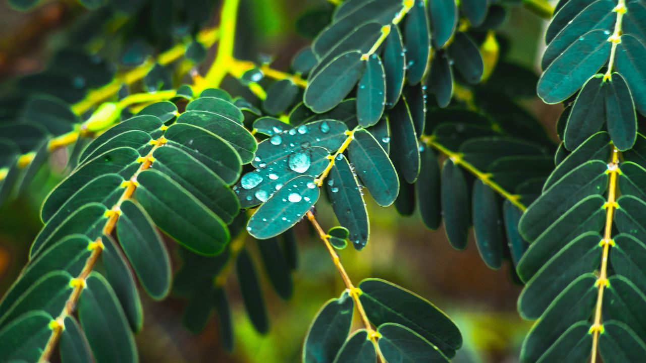 growth, leaf, plant part, green color, plant, beauty in nature, close-up, water, nature, drop, wet, freshness, day, no people, focus on foreground, selective focus, vulnerability, outdoors, fragility, rain, dew, leaves, raindrop, rainy season, purity