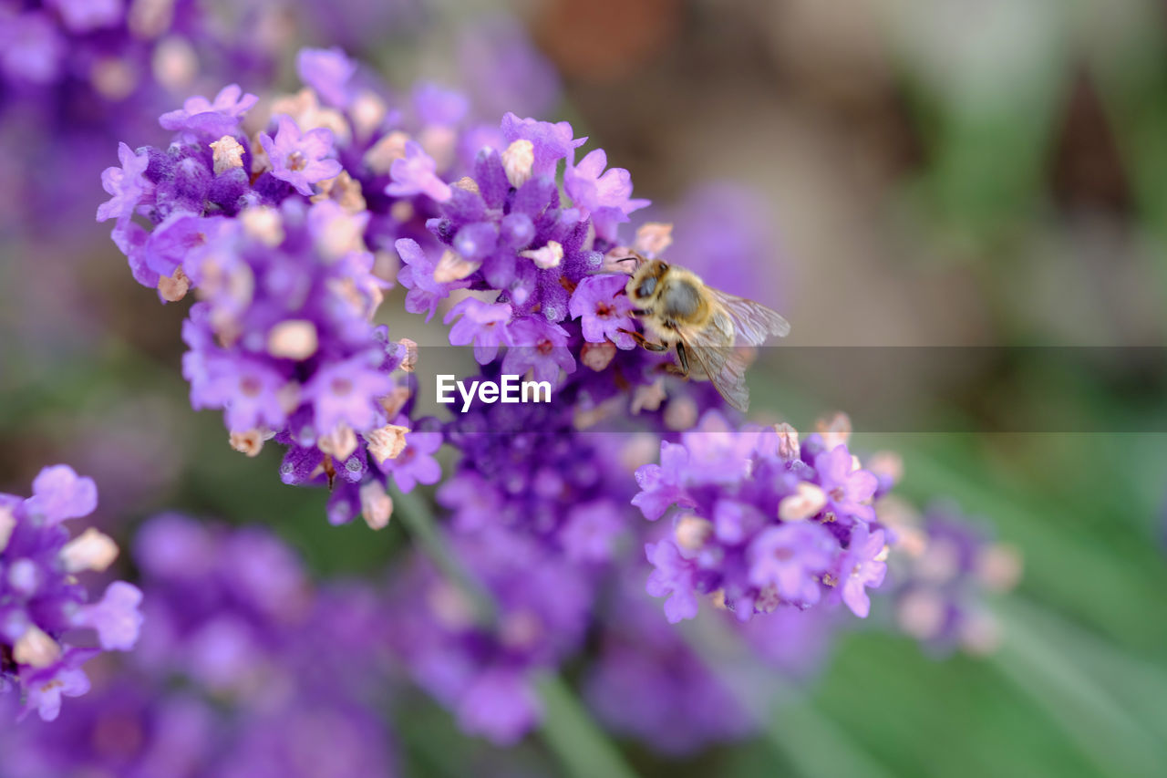 Close-up of bee on lavender blooming outdoors