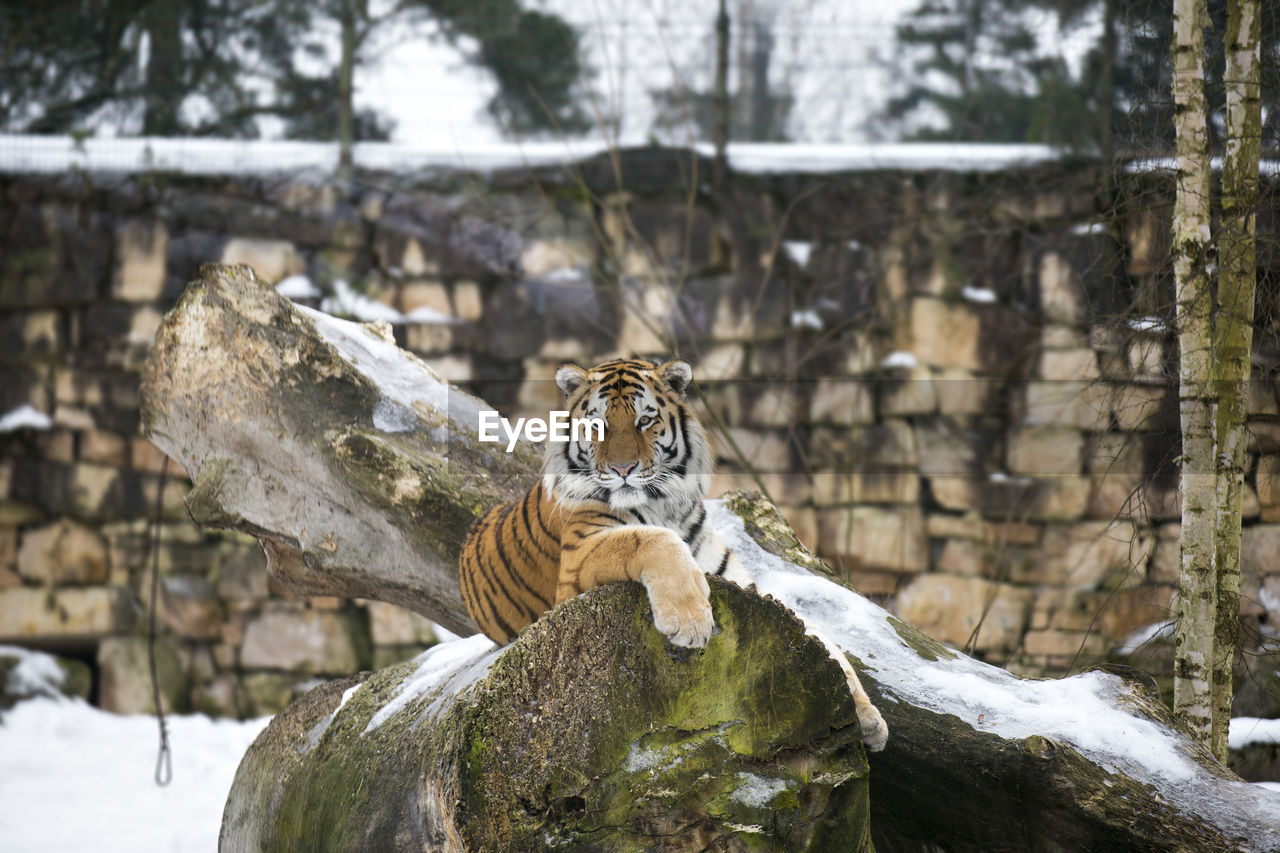 animal themes, animal, animal wildlife, animals in the wild, one animal, big cat, mammal, tiger, solid, rock, rock - object, vertebrate, tree, zoo, feline, day, no people, nature, animals in captivity, outdoors