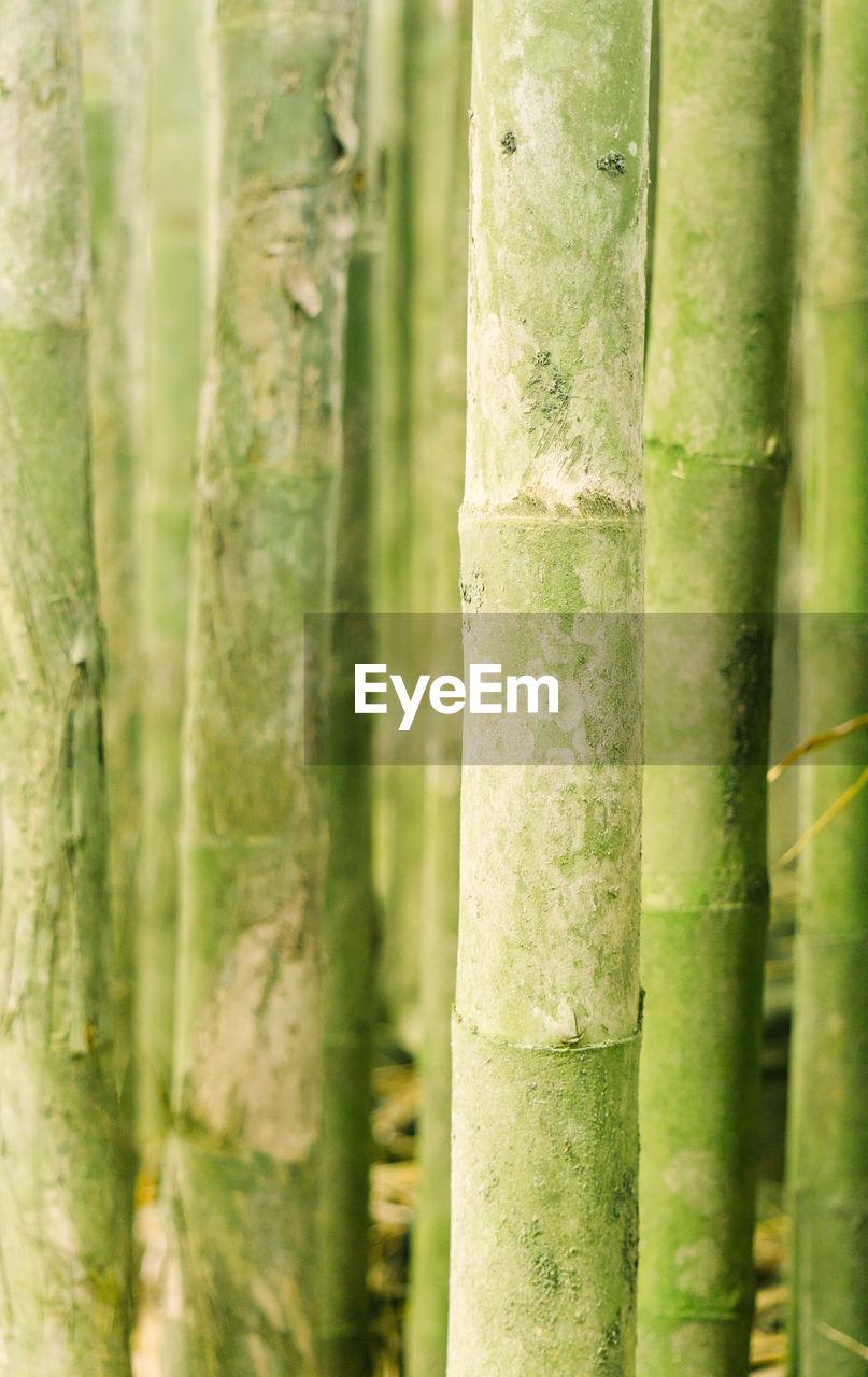 Full frame short of bamboo plants