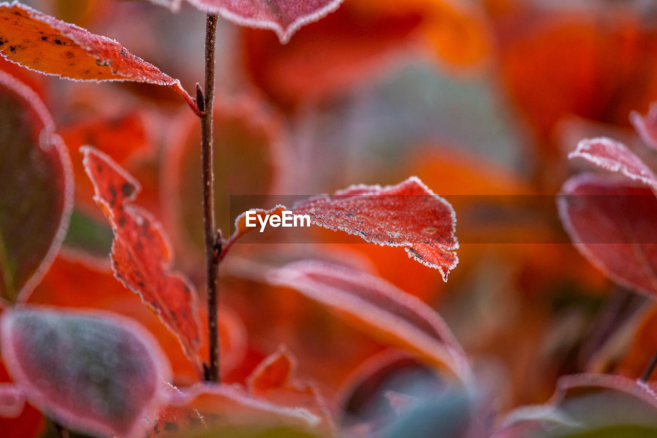 close-up, beauty in nature, leaf, plant part, no people, growth, plant, selective focus, orange color, nature, focus on foreground, winter, change, freshness, food, day, red, vulnerability, cold temperature, food and drink, outdoors, leaves, flower head
