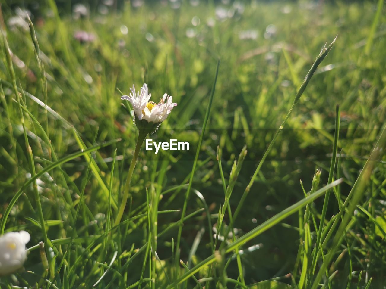 plant, growth, flowering plant, beauty in nature, flower, freshness, fragility, green color, vulnerability, field, nature, land, day, no people, petal, grass, close-up, selective focus, focus on foreground, white color, flower head, outdoors, blade of grass