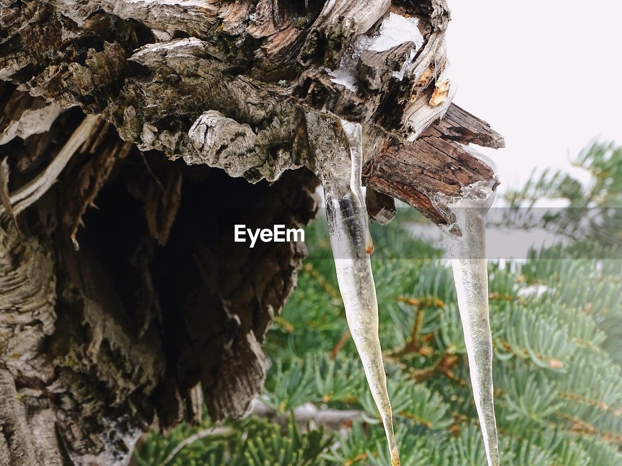 plant, tree, nature, no people, day, wood - material, trunk, tree trunk, focus on foreground, growth, winter, cold temperature, close-up, beauty in nature, outdoors, tranquility, land, snow, field, icicle