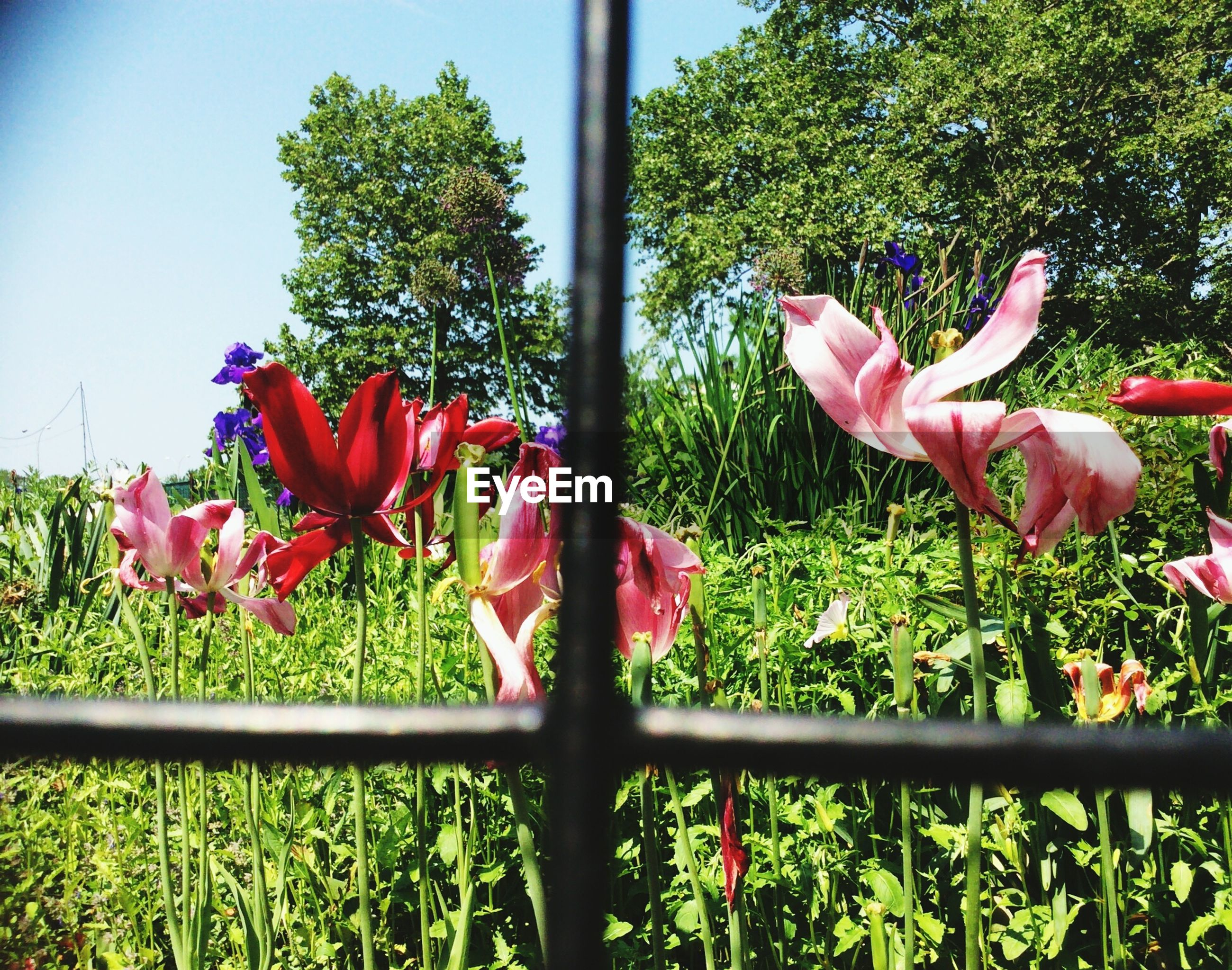 flower, growth, plant, fragility, red, freshness, petal, beauty in nature, nature, fence, green color, flower head, close-up, tree, day, blooming, grass, sunlight, in bloom, leaf