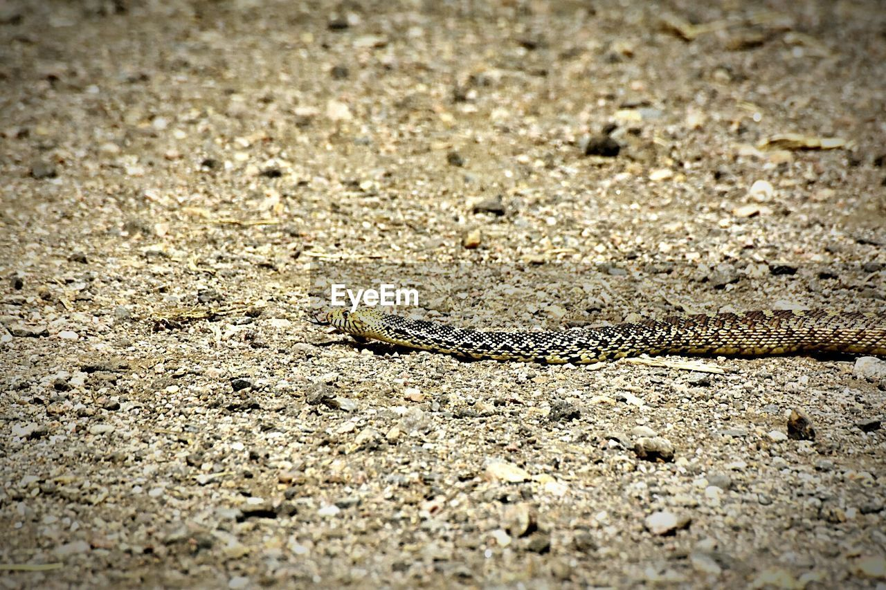animal themes, one animal, animals in the wild, animal wildlife, reptile, no people, day, sand, outdoors, nature, close-up
