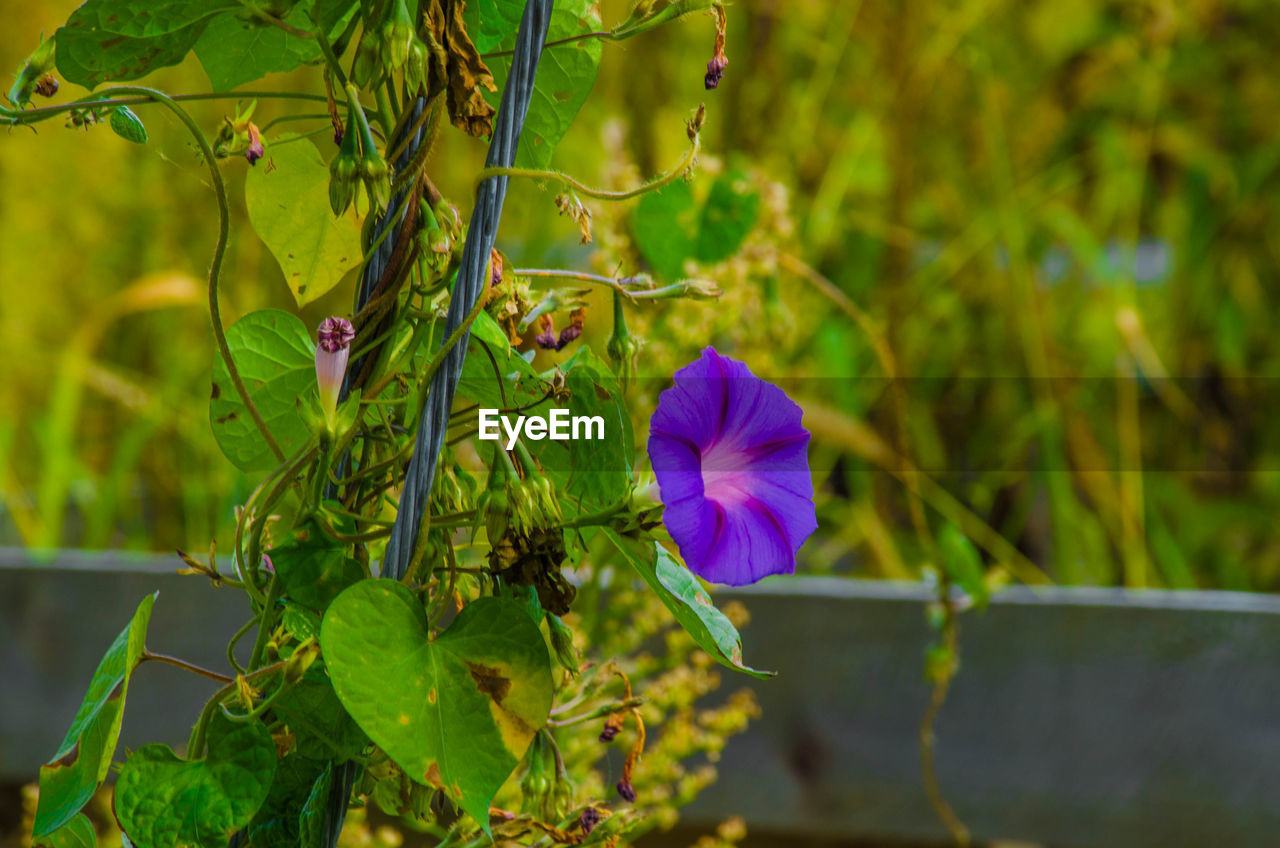 flower, growth, plant, green color, nature, beauty in nature, fragility, freshness, petal, leaf, no people, purple, focus on foreground, outdoors, day, flower head, close-up, blooming