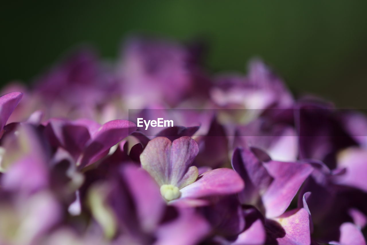 flowering plant, flower, beauty in nature, vulnerability, freshness, fragility, plant, petal, close-up, purple, selective focus, growth, inflorescence, nature, no people, flower head, pink color, outdoors, day, springtime, lilac