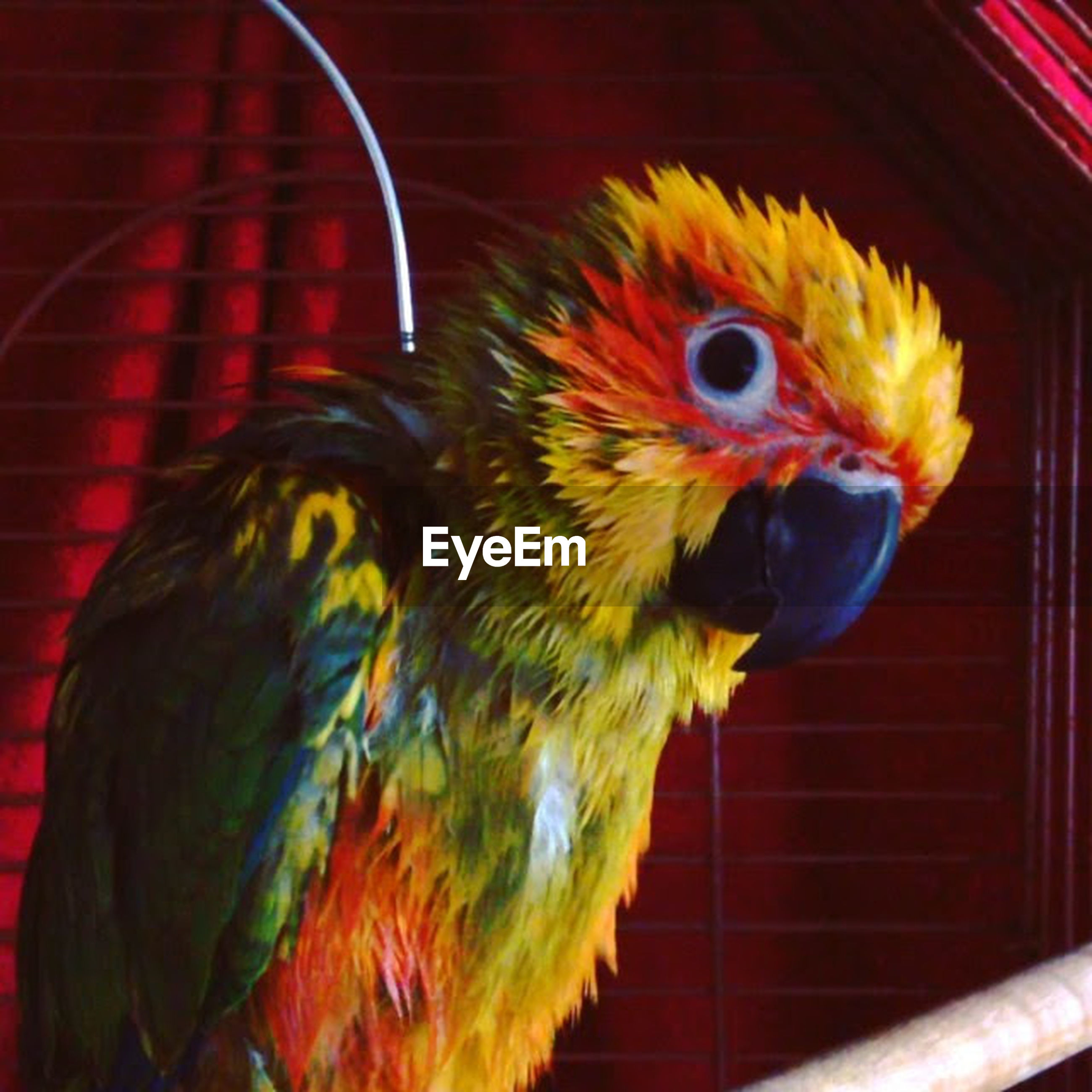 animal themes, bird, one animal, parrot, animals in the wild, multi colored, wildlife, indoors, close-up, beak, cage, animals in captivity, red, perching, yellow, focus on foreground, orange color, macaw, no people, animal head