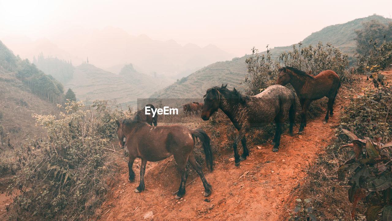Horses On Mountain