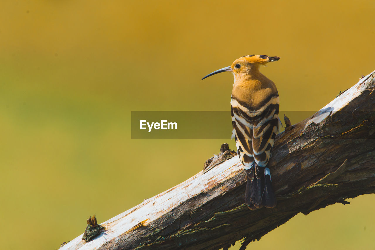 Close-Up Of Hoopoe Perching On Branch