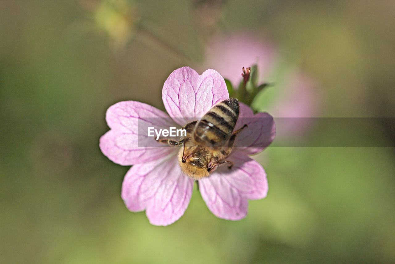 flower, petal, nature, fragility, one animal, insect, animal themes, animals in the wild, growth, beauty in nature, no people, flower head, plant, pink color, outdoors, freshness, animal wildlife, close-up, day, pollination, bee