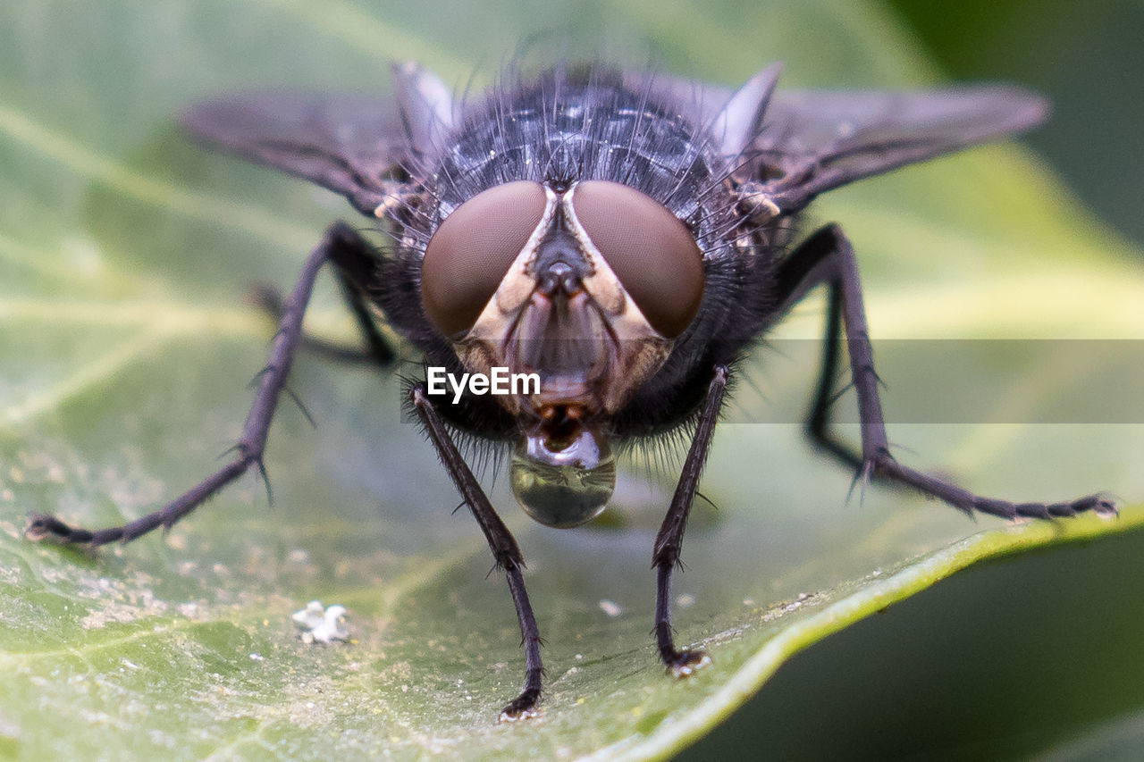 Close-up of blowfly perching on leaf