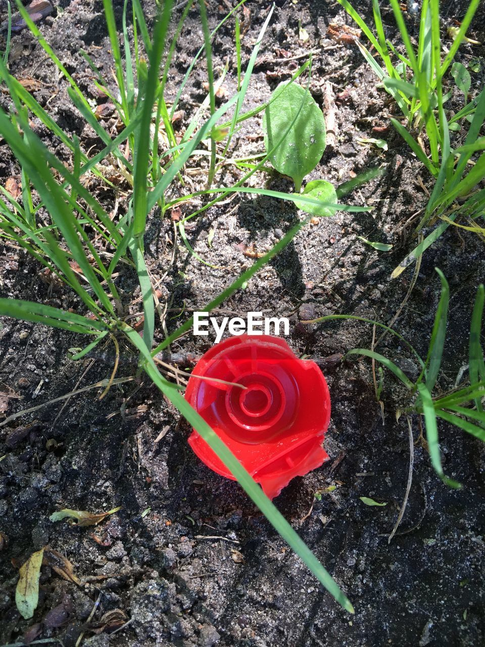 flower, red, rose - flower, growth, petal, fragility, nature, beauty in nature, high angle view, plant, leaf, freshness, flower head, no people, day, field, blooming, green color, outdoors, close-up