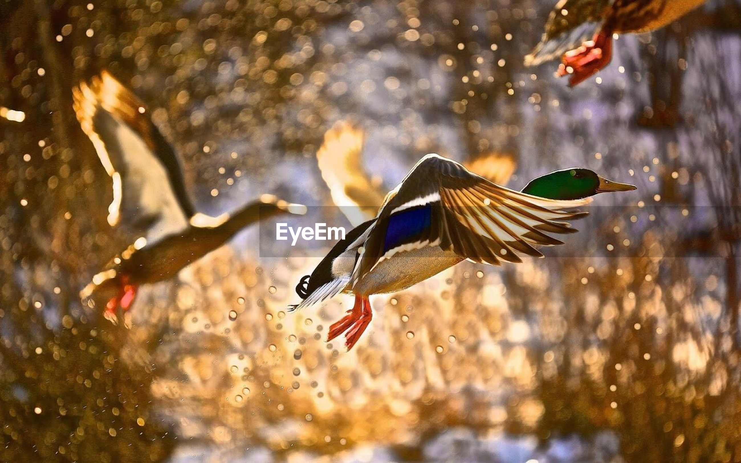 Close-up of ducks flying over water