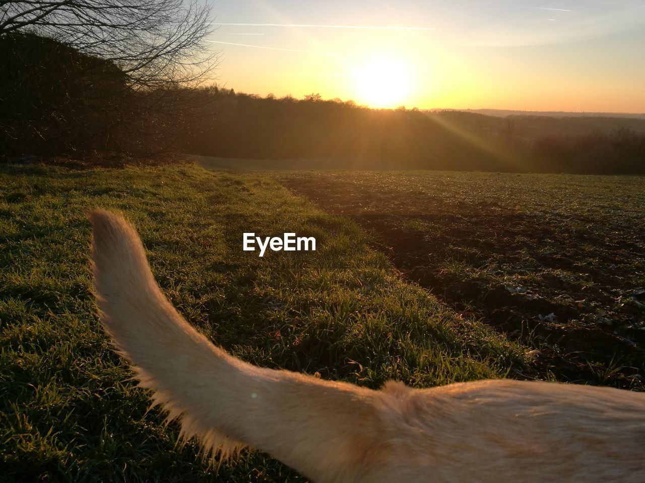 one animal, domestic animals, sunset, animal themes, dog, mammal, no people, sun, field, nature, grass, outdoors, pets, sunlight, landscape, sky, day, close-up, beauty in nature