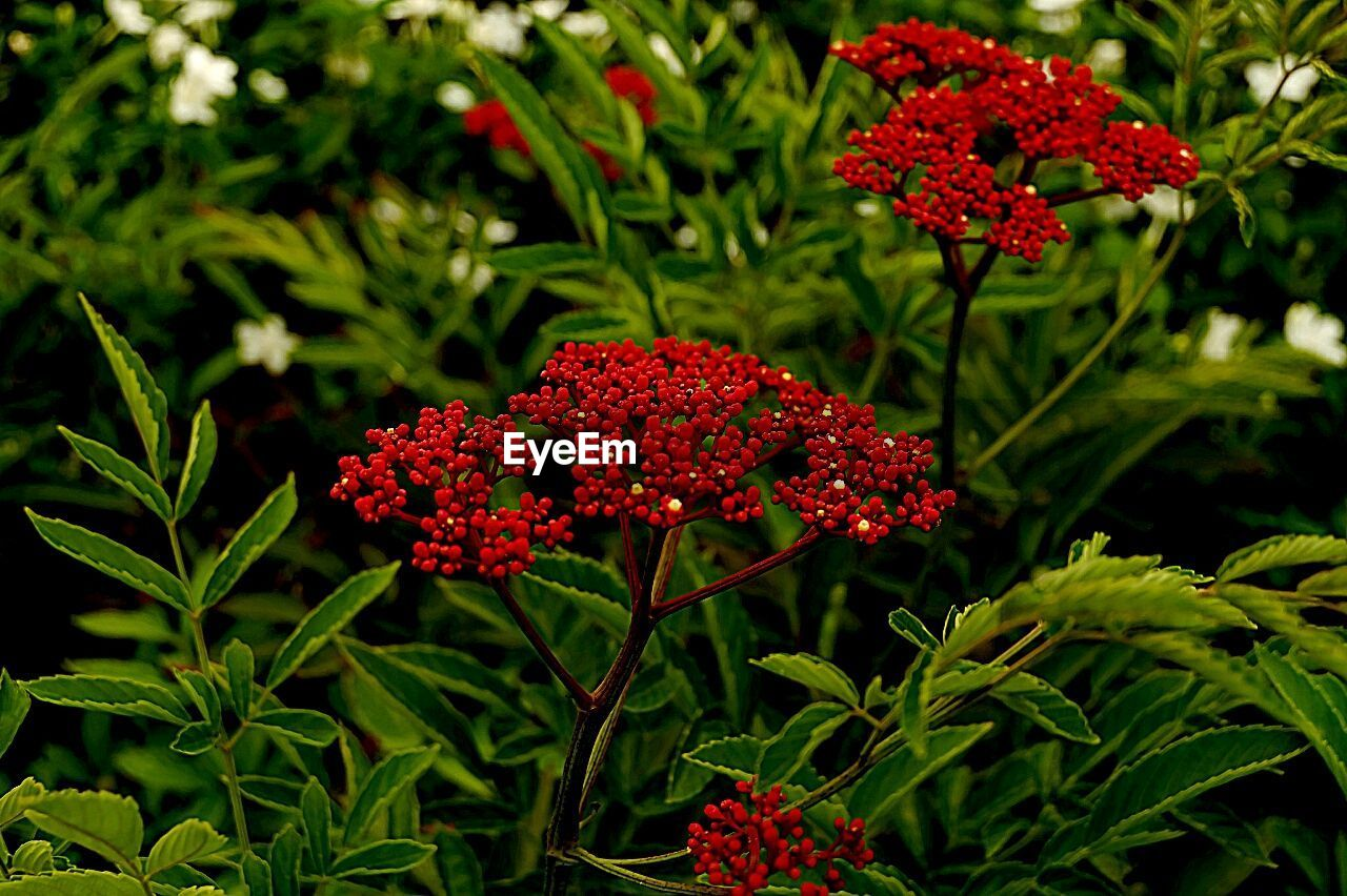 red, flower, growth, plant, beauty in nature, nature, petal, blooming, green color, flower head, no people, fragility, leaf, freshness, day, outdoors, zinnia, close-up