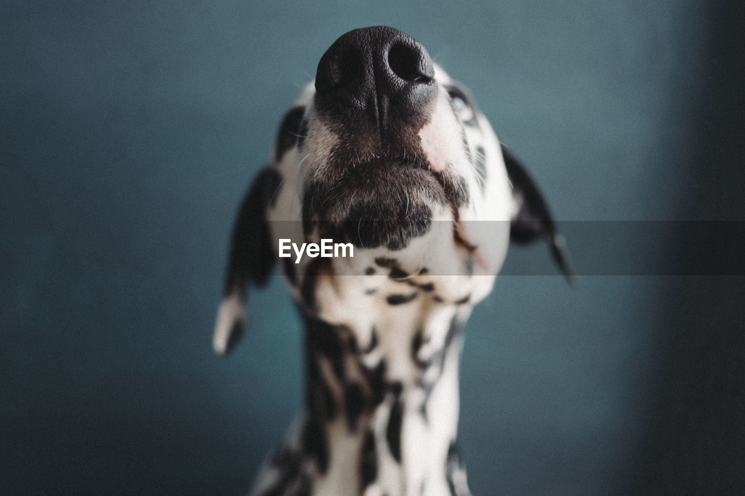 Close-up of dog looking up against blue background