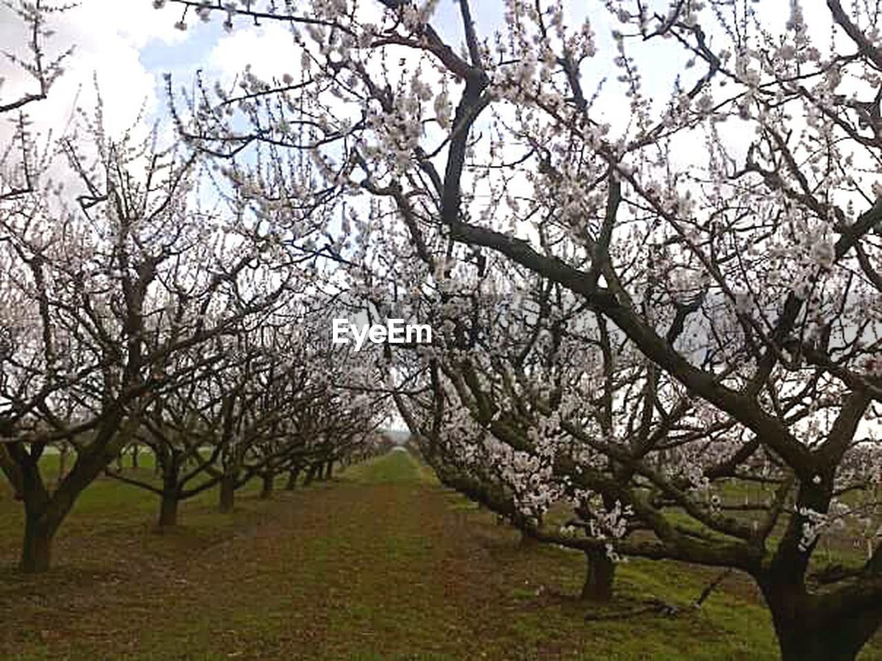 tree, almond tree, blossom, orchard, branch, nature, springtime, beauty in nature, flower, growth, agriculture, outdoors, day, no people, beehive, field, tranquility, apiculture, landscape, fragility, sky, rural scene, scenics, freshness