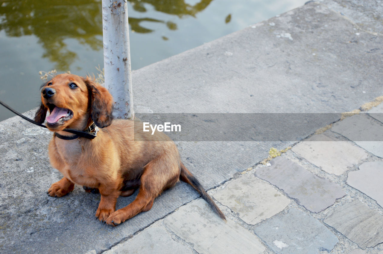 dog, canine, domestic, domestic animals, mammal, one animal, pets, animal themes, animal, vertebrate, footpath, high angle view, brown, day, no people, looking, looking away, outdoors, stone, leash, paving stone, mouth open