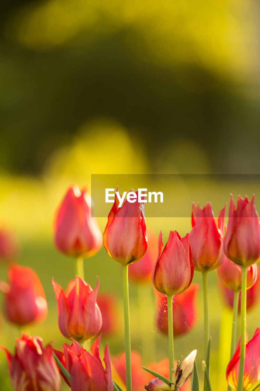 flower, beauty in nature, flowering plant, plant, fragility, freshness, vulnerability, growth, close-up, petal, tulip, nature, red, inflorescence, no people, flower head, selective focus, outdoors, field, day, springtime, spring