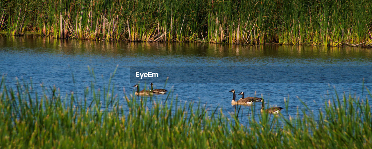 water, animals in the wild, plant, animal themes, grass, animal wildlife, group of animals, animal, lake, no people, bird, nature, vertebrate, swimming, day, two animals, reflection, tranquility, beauty in nature, outdoors, floating on water, animal family