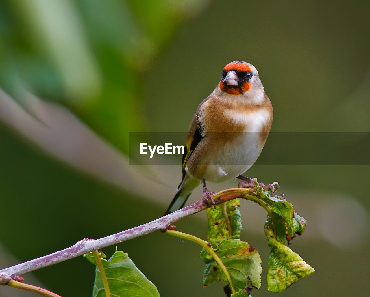 Goldfinch perching on twig