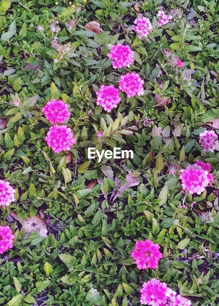 flower, growth, pink color, plant, nature, fragility, no people, blooming, beauty in nature, outdoors, day, leaf, freshness, flower head