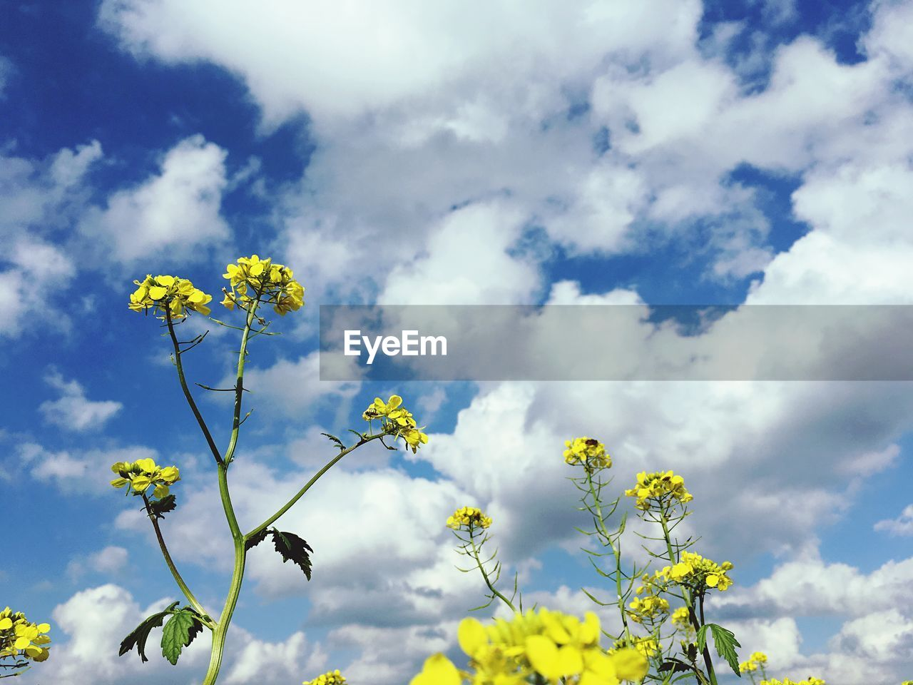 flower, flowering plant, sky, plant, yellow, beauty in nature, cloud - sky, freshness, fragility, growth, vulnerability, low angle view, nature, day, no people, blossom, outdoors, close-up, springtime, flower head