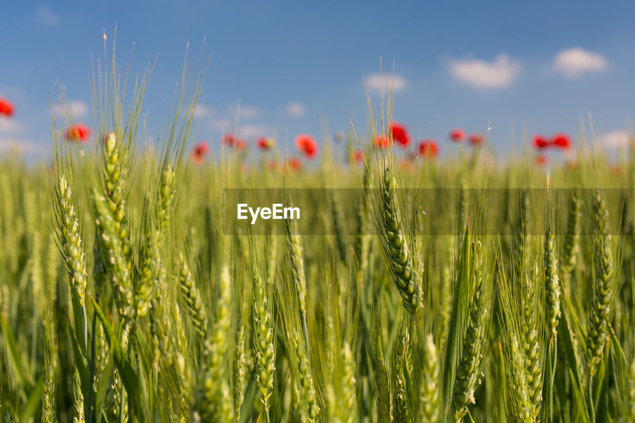 Close-Up Of Wheat Field Against Poppies Against Sky