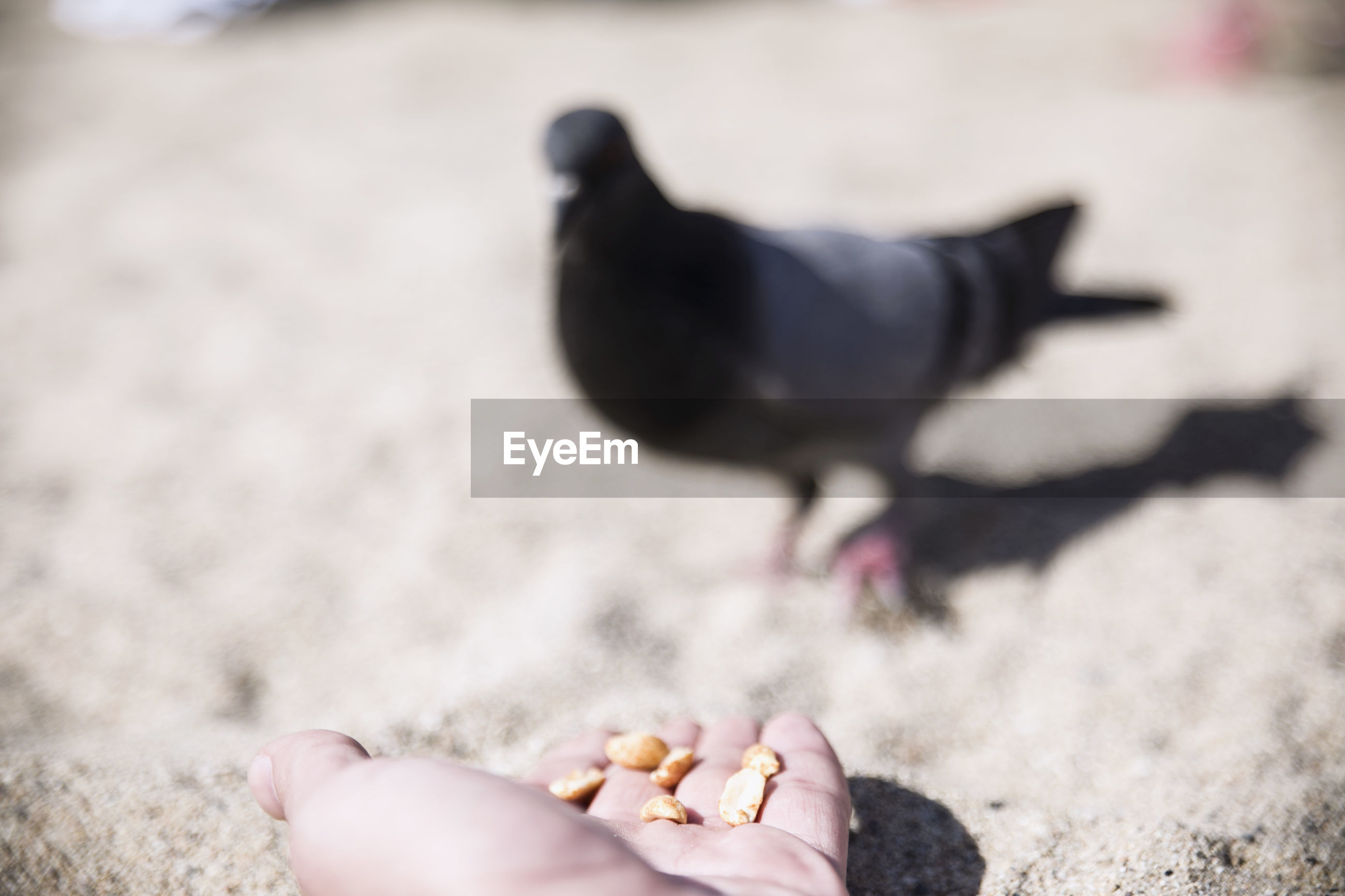 Cropped hand feeding pigeon at beach