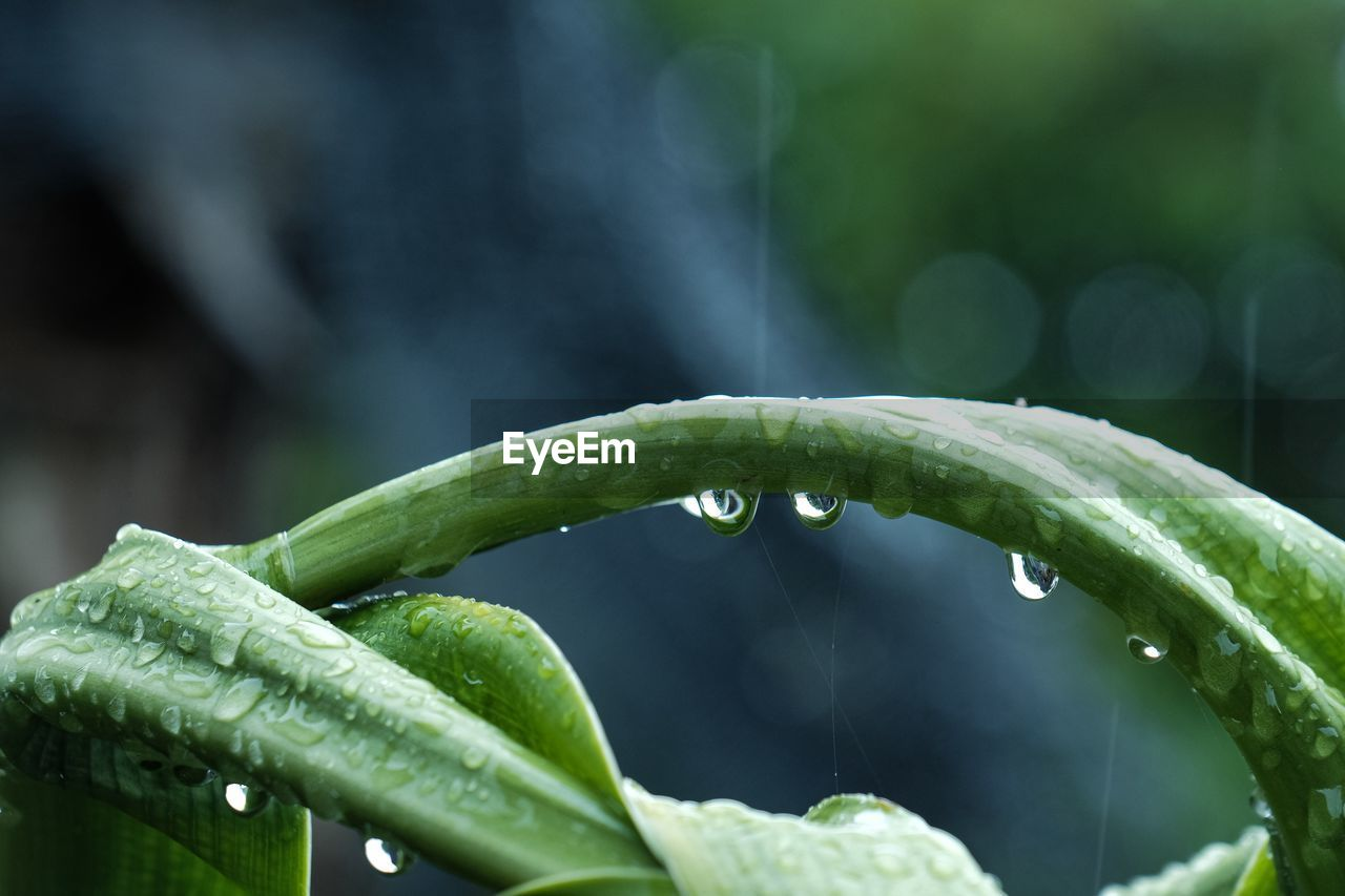 drop, green color, wet, water, focus on foreground, growth, plant part, close-up, leaf, plant, nature, no people, freshness, beauty in nature, rain, raindrop, day, outdoors, purity, rainy season, dew, blade of grass
