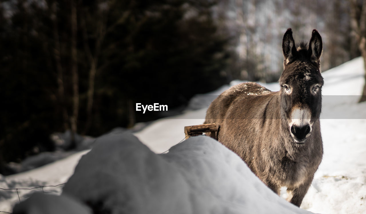 Donkey standing on snow during winter