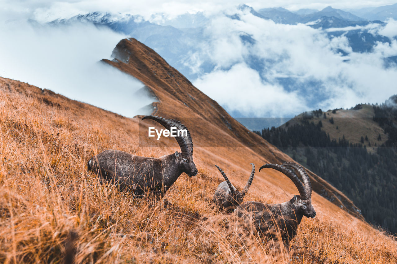 Wild isolated ibex grazing on meadow above the clouds in augstmatthorn, switzerland