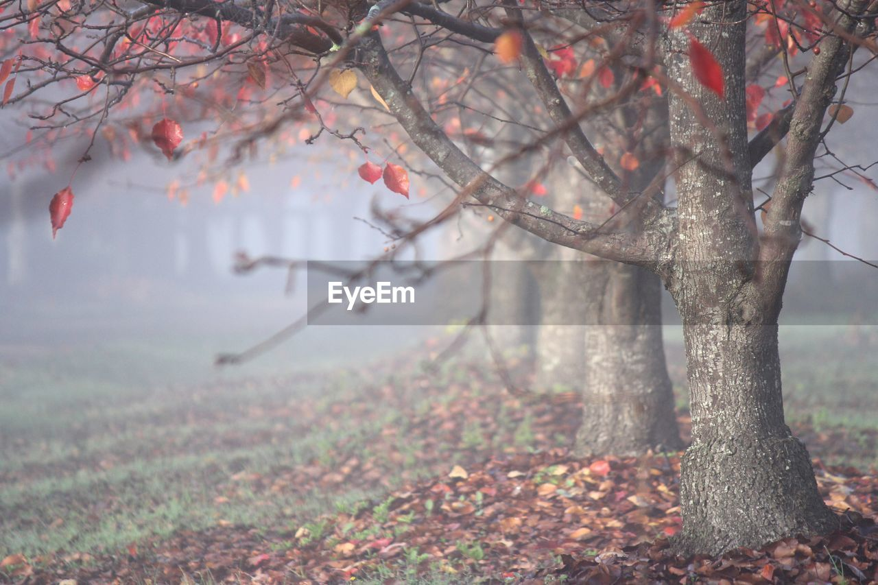 Autumn leaves on tree in fog