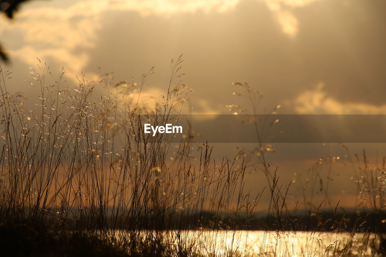Close-Up Of Reed Grass Against Cloudy Sky At Sunset
