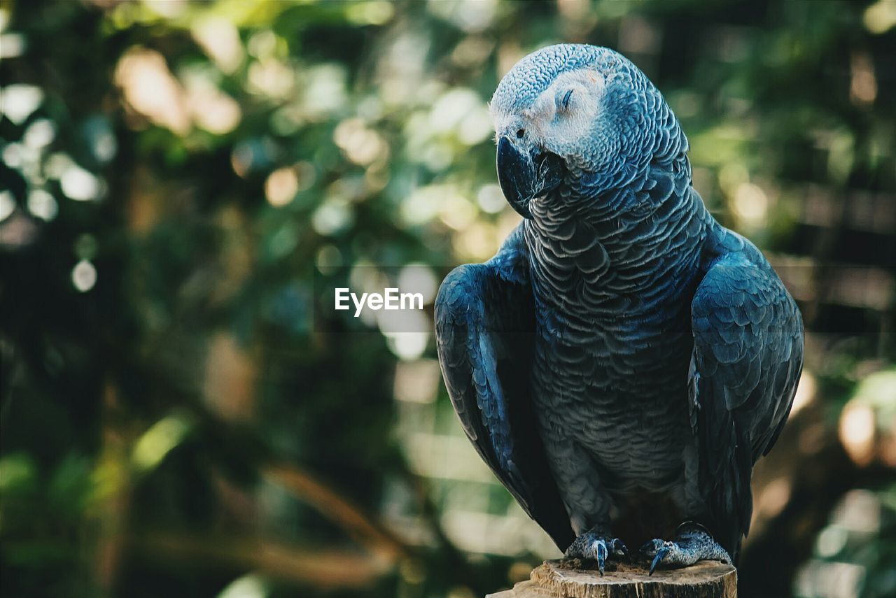 Close-up of african grey parrot perching on wood at zoo