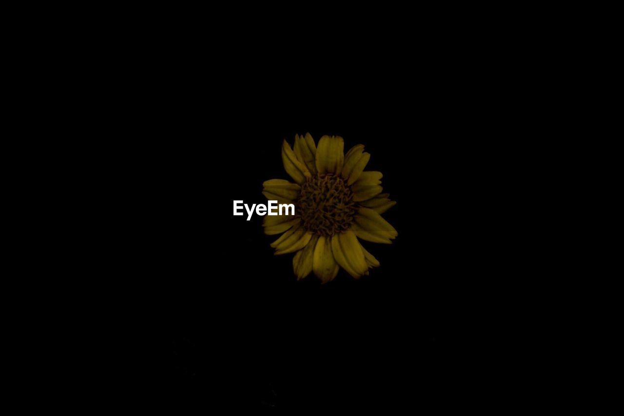 flower, yellow, petal, copy space, studio shot, nature, beauty in nature, fragility, black background, flower head, freshness, growth, blooming, no people, sunflower, plant, close-up, outdoors
