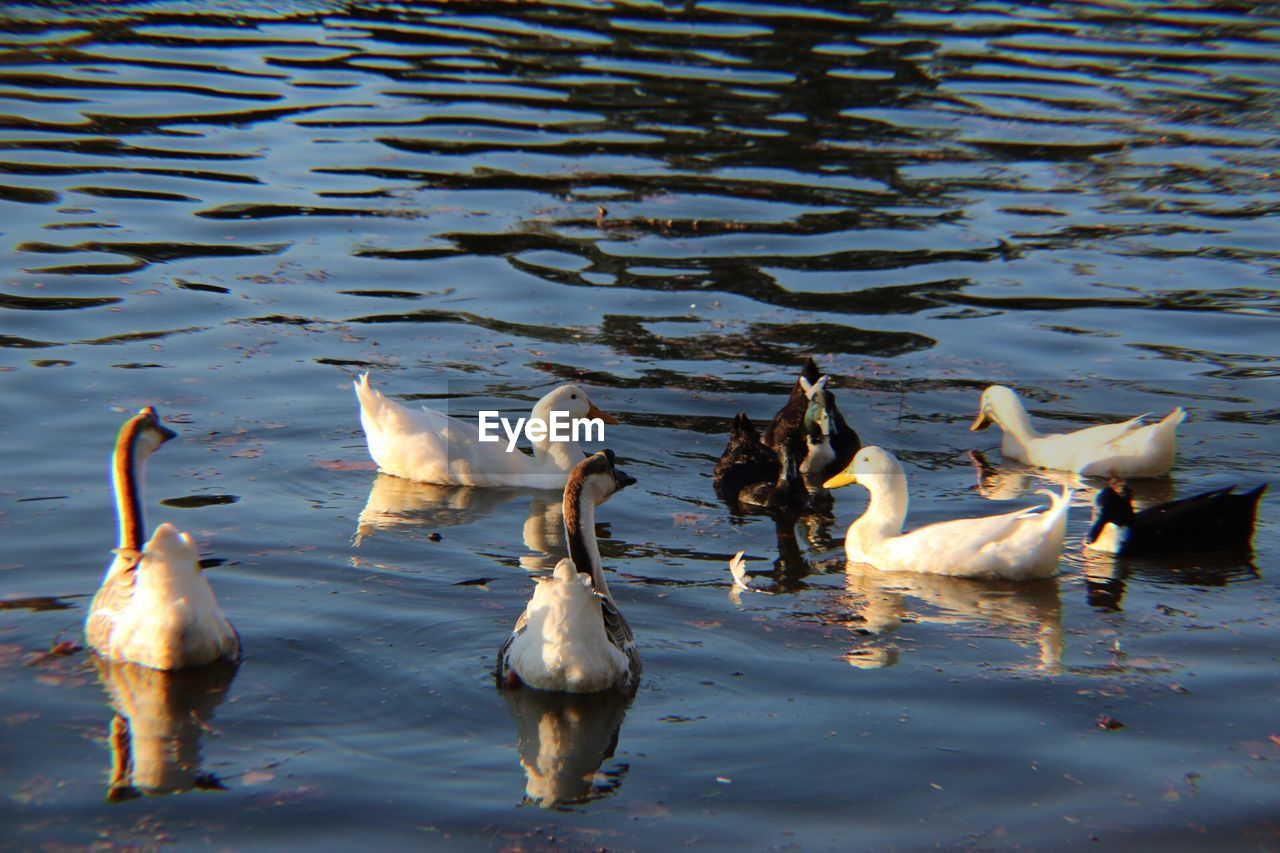 water, lake, animal themes, animal, vertebrate, animals in the wild, group of animals, animal wildlife, bird, waterfront, swimming, no people, nature, day, reflection, duck, beauty in nature, outdoors, large group of animals, animal family, flock of birds, cygnet, gosling