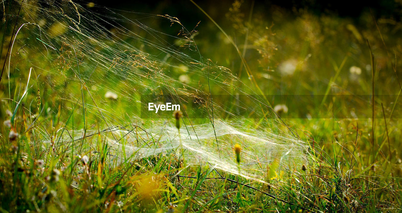 CLOSE-UP OF SPIDER WEB ON GRASS