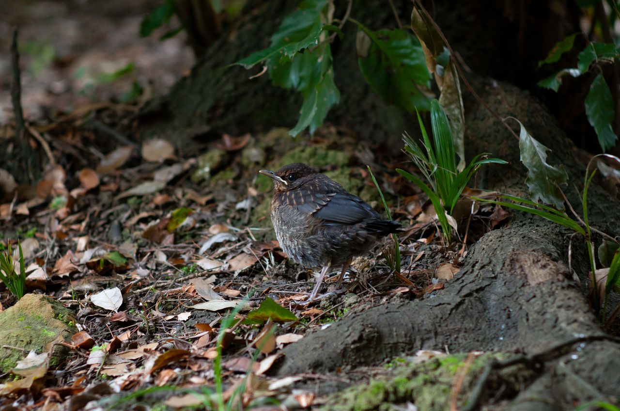 one animal, animal wildlife, animal themes, animals in the wild, animal, leaf, plant part, vertebrate, bird, nature, day, land, plant, field, perching, selective focus, no people, outdoors, high angle view, close-up, leaves