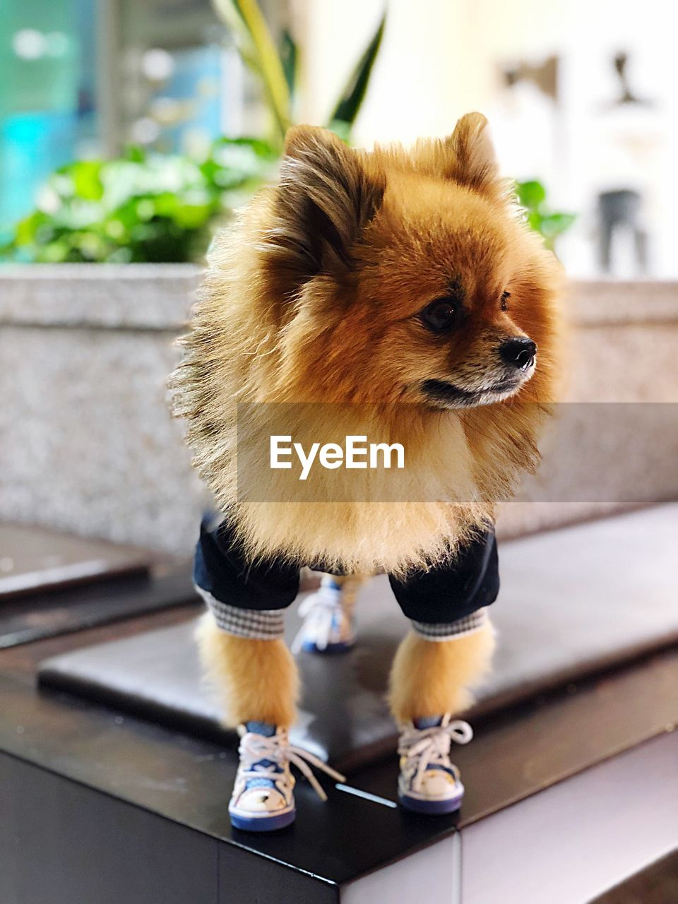 one animal, animal themes, mammal, domestic, animal, pets, domestic animals, canine, dog, vertebrate, focus on foreground, no people, day, pomeranian, close-up, full length, indoors, brown, looking away, looking, small